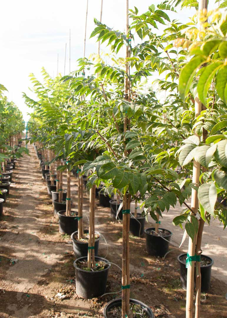 Rows of #7 sized Frontier Elm trees at Garden Gate in Pasco WA.
