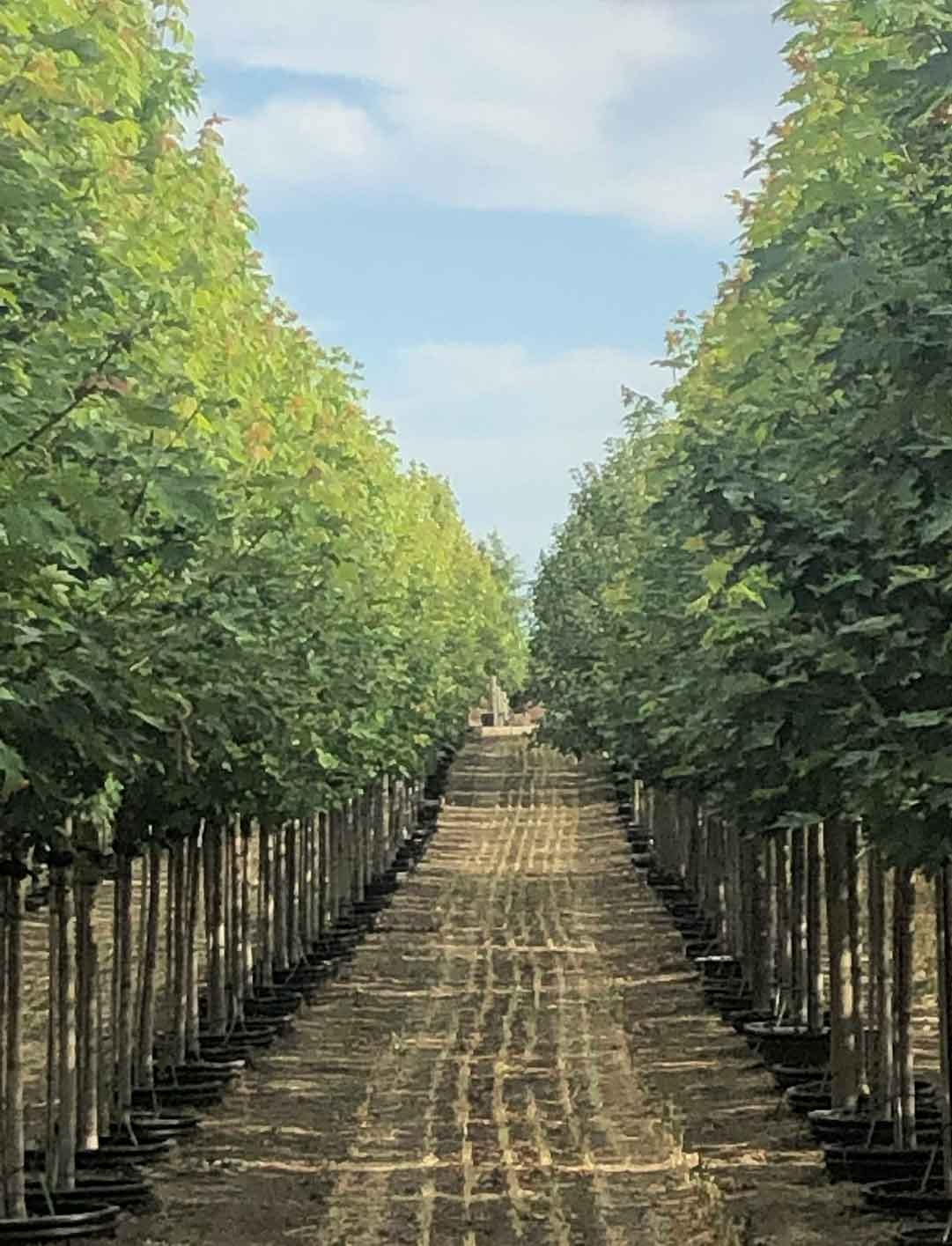 2 inch Autumn Blaze Maples at Garden Gate Nursery.