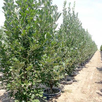 Regal Prince Oak Tree