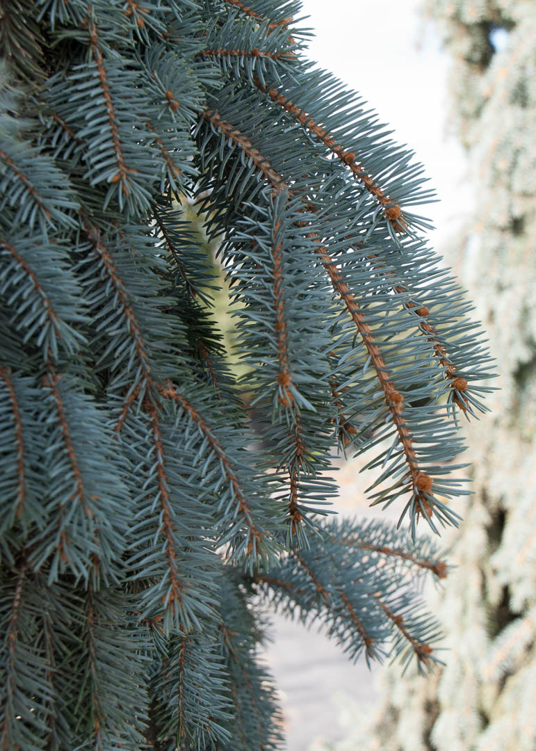 """The Blues"" Blue Spruce Tree"
