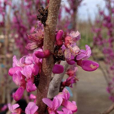 Avondale Chinese Redbud Tree