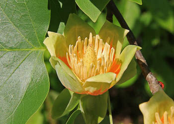 Introducing the Emerald City® Tulip Tree