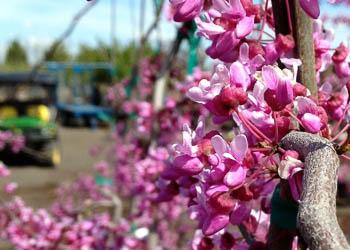 Lavender Twist™ Redbud Tree