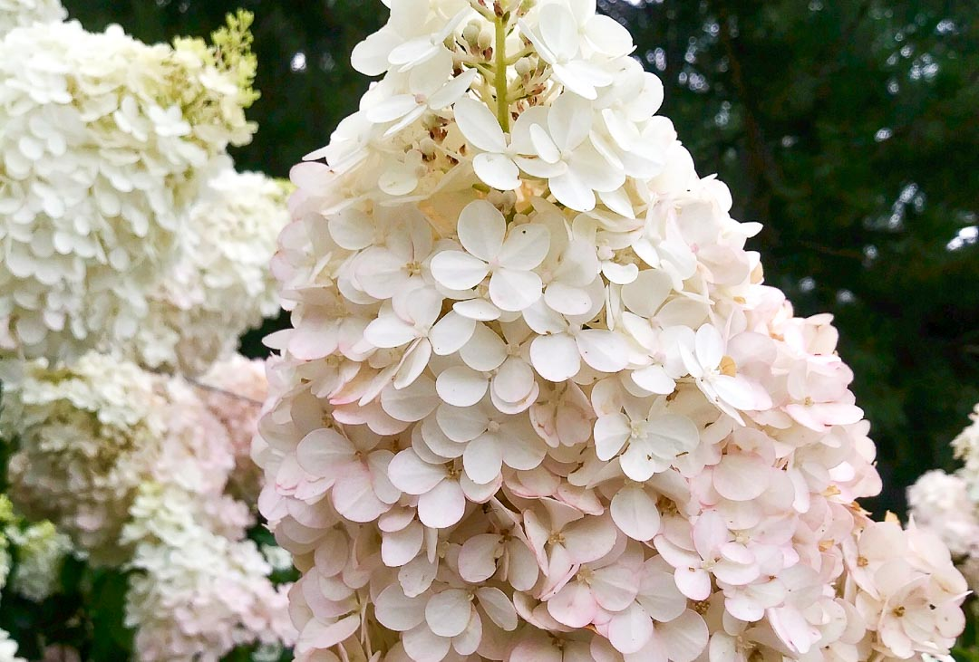 Vanilla Strawberry Hydrangea (Tree Form)