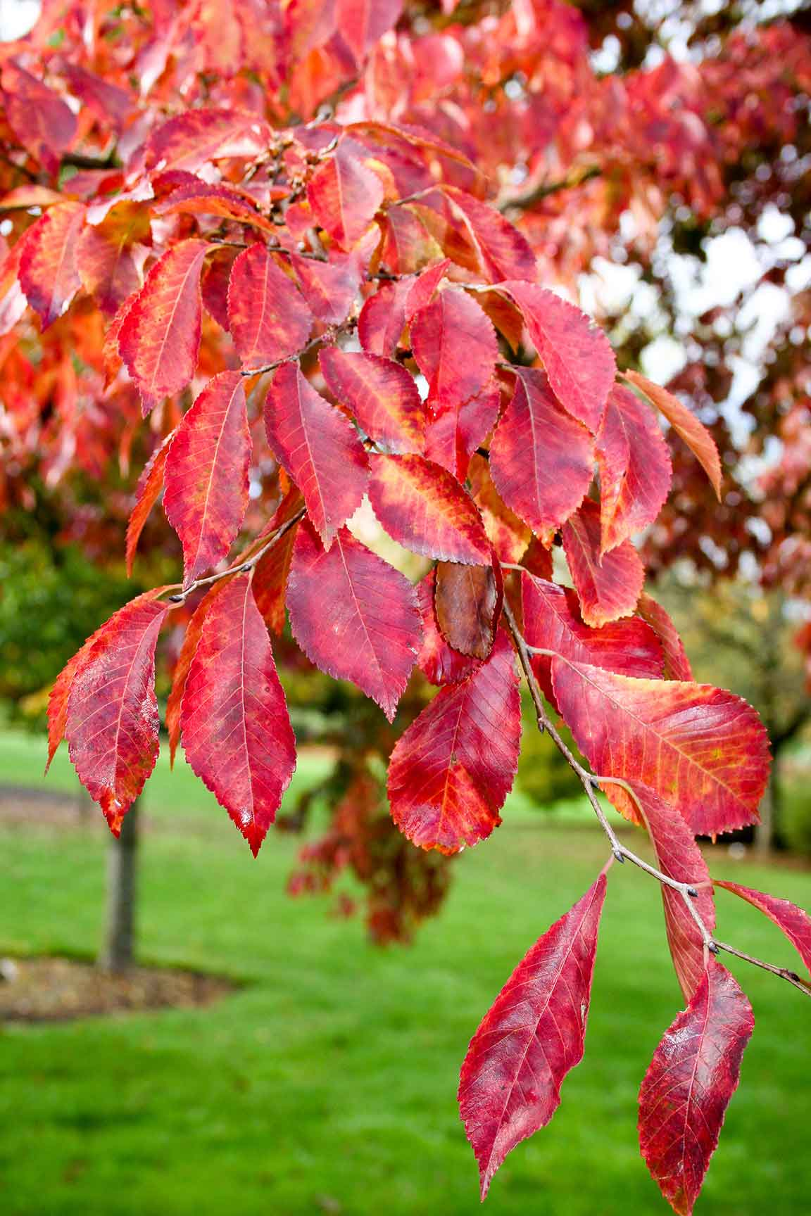 Frontier Elm Leaves during the fall, showing off their bright color.