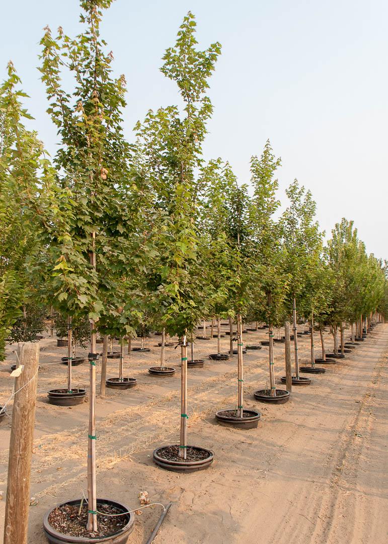 Somerset Maple Trees at Garden Gate