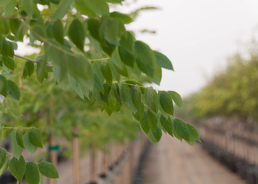Espresso™ Kentucky Coffee Tree