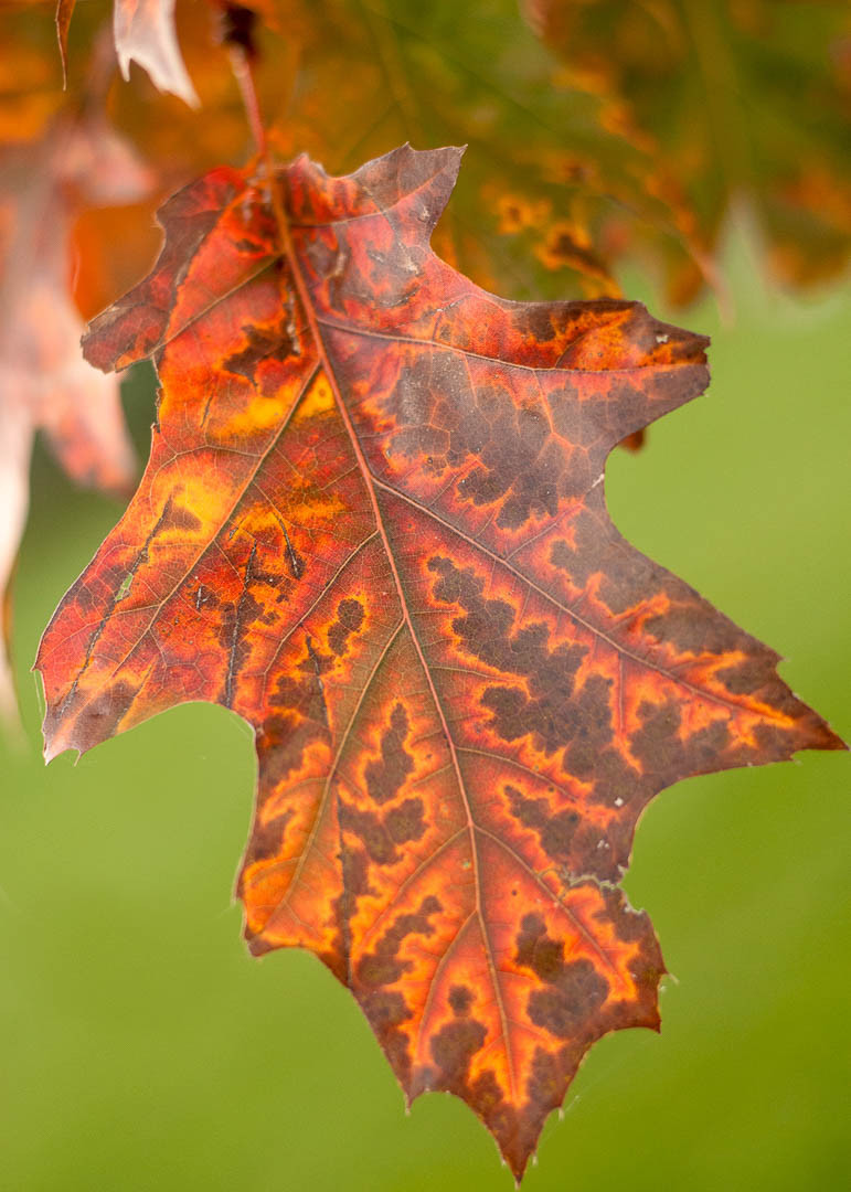 Red Oak Leaf in the Fall.