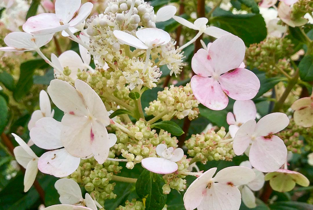 Quick Fire Hydrangea (Tree Form)