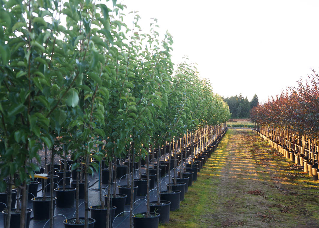 Chanticleer® Pear Tree