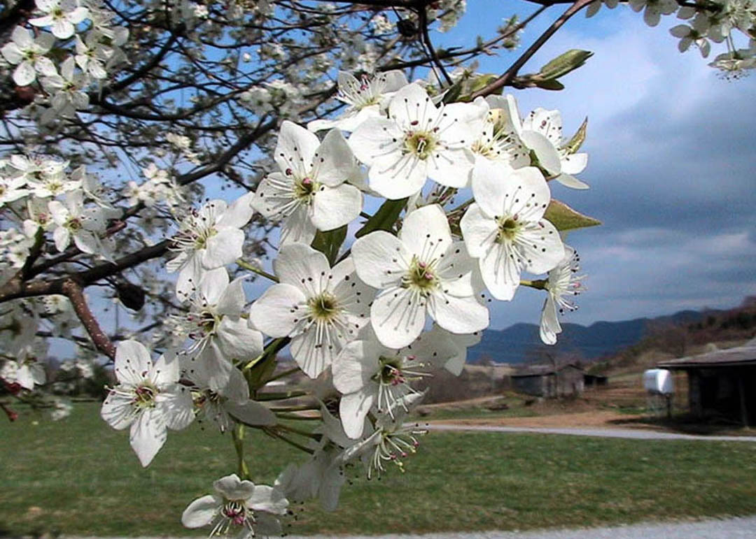 New Bradford Flowering Pear Tree