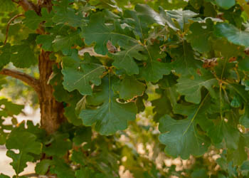 Three Oak tree varieties that are quite simply beautiful.