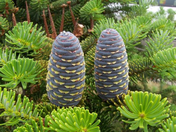 Know Your Evergreens: how to tell the difference between a pine, spruce, and fir tree.
