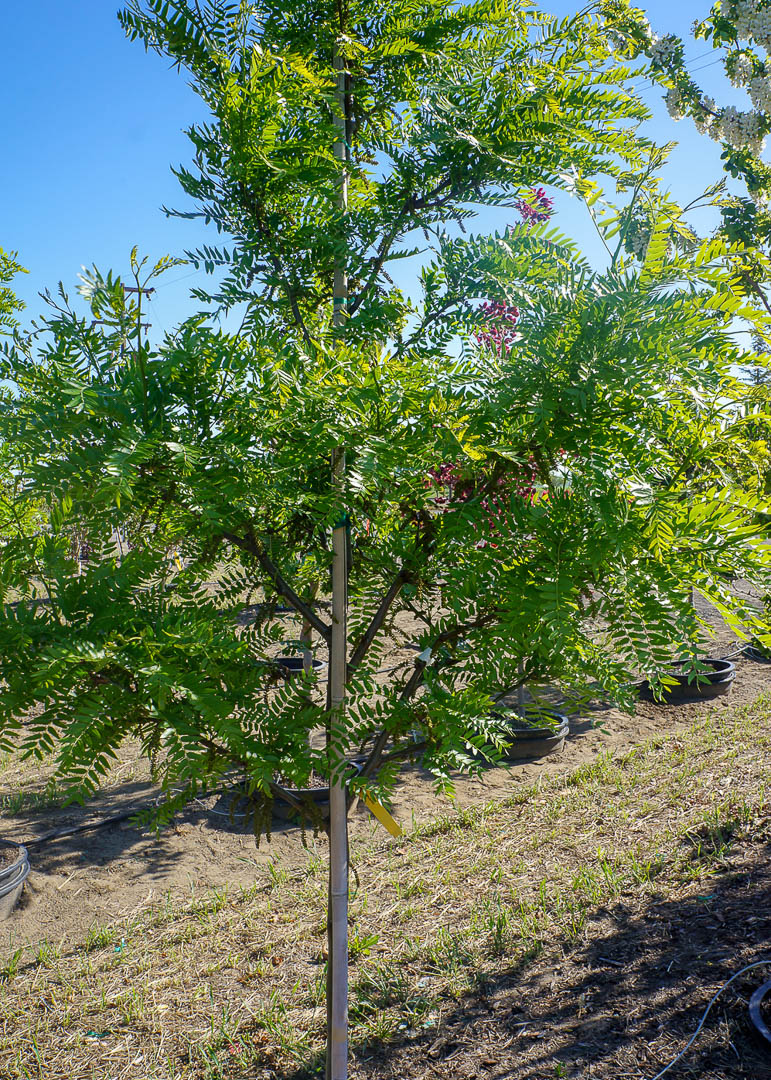 Imperial ® Honeylocust Tree