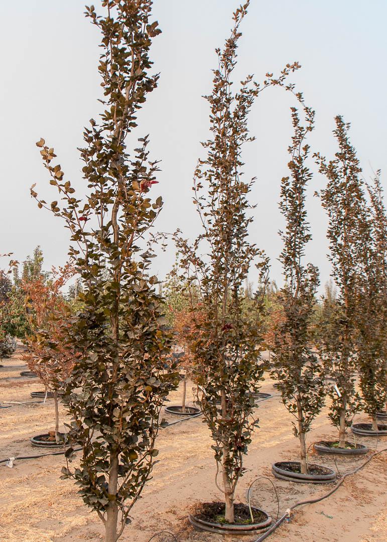 Dawyck Purple Beech Tree