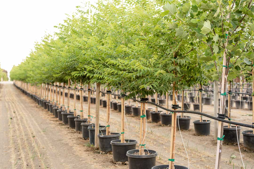 Row of Eye Stopper™ Cork Trees at Garden Gate Nursery
