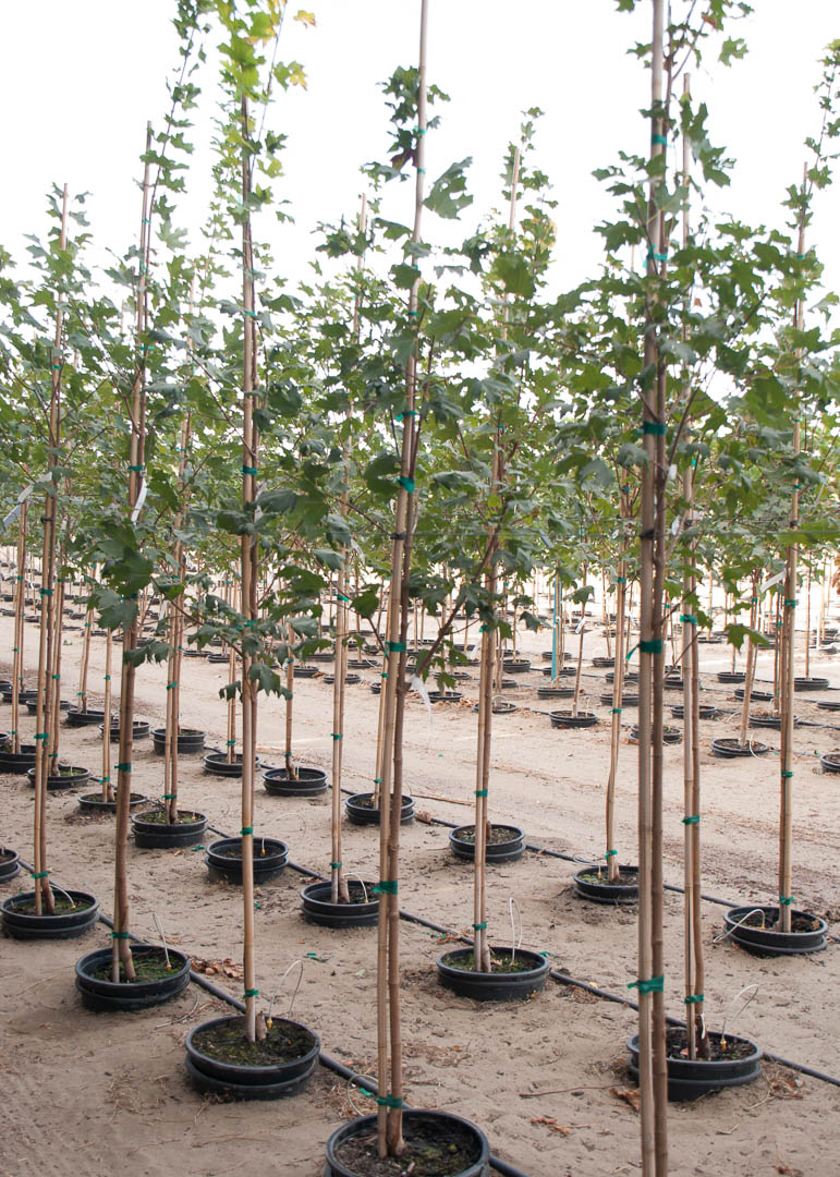 Flashfire® Maple Tree