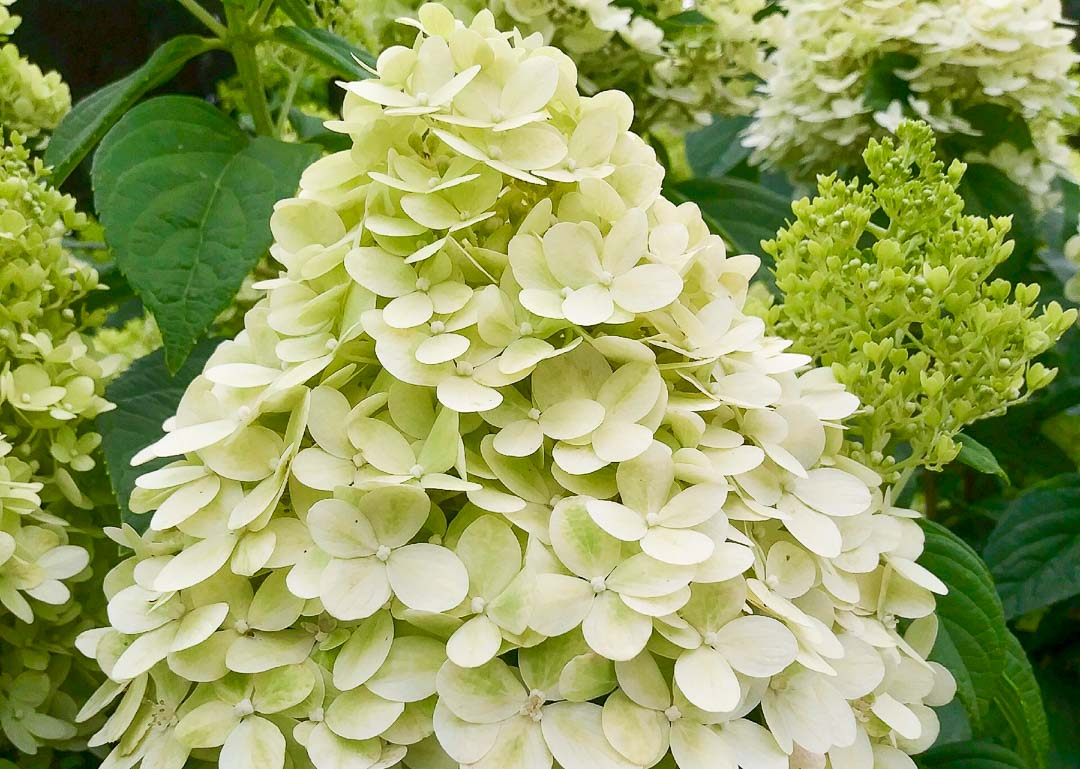 Limelight Hydrangea (Tree Form)