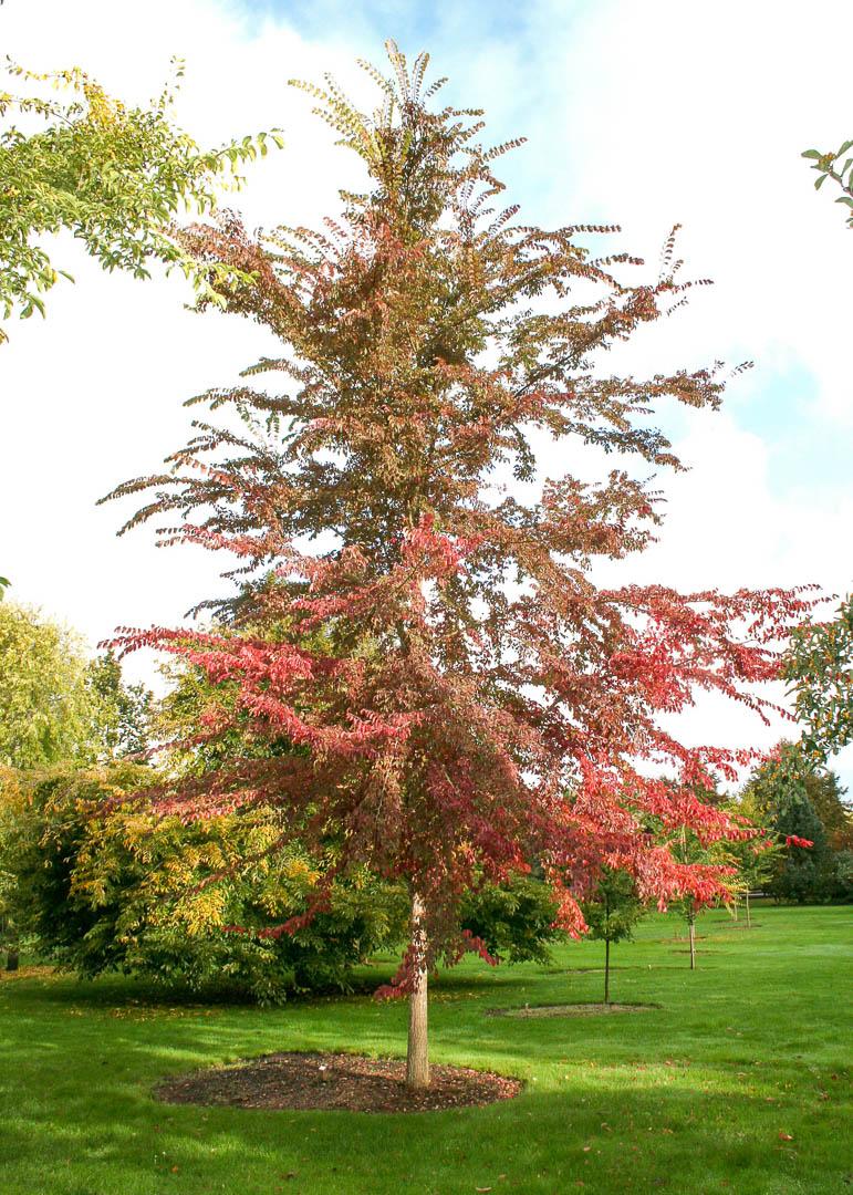 Frontier Elm Tree
