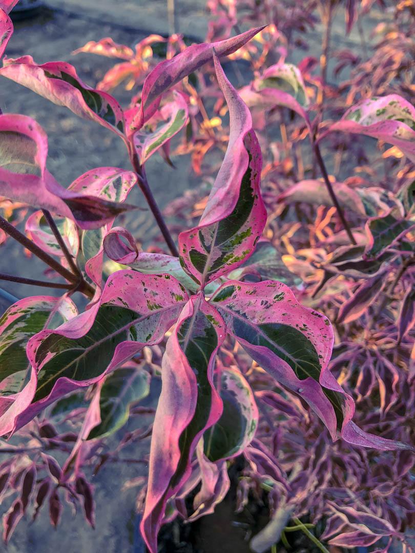 Wolf Eyes Japanese Dogwood Tree