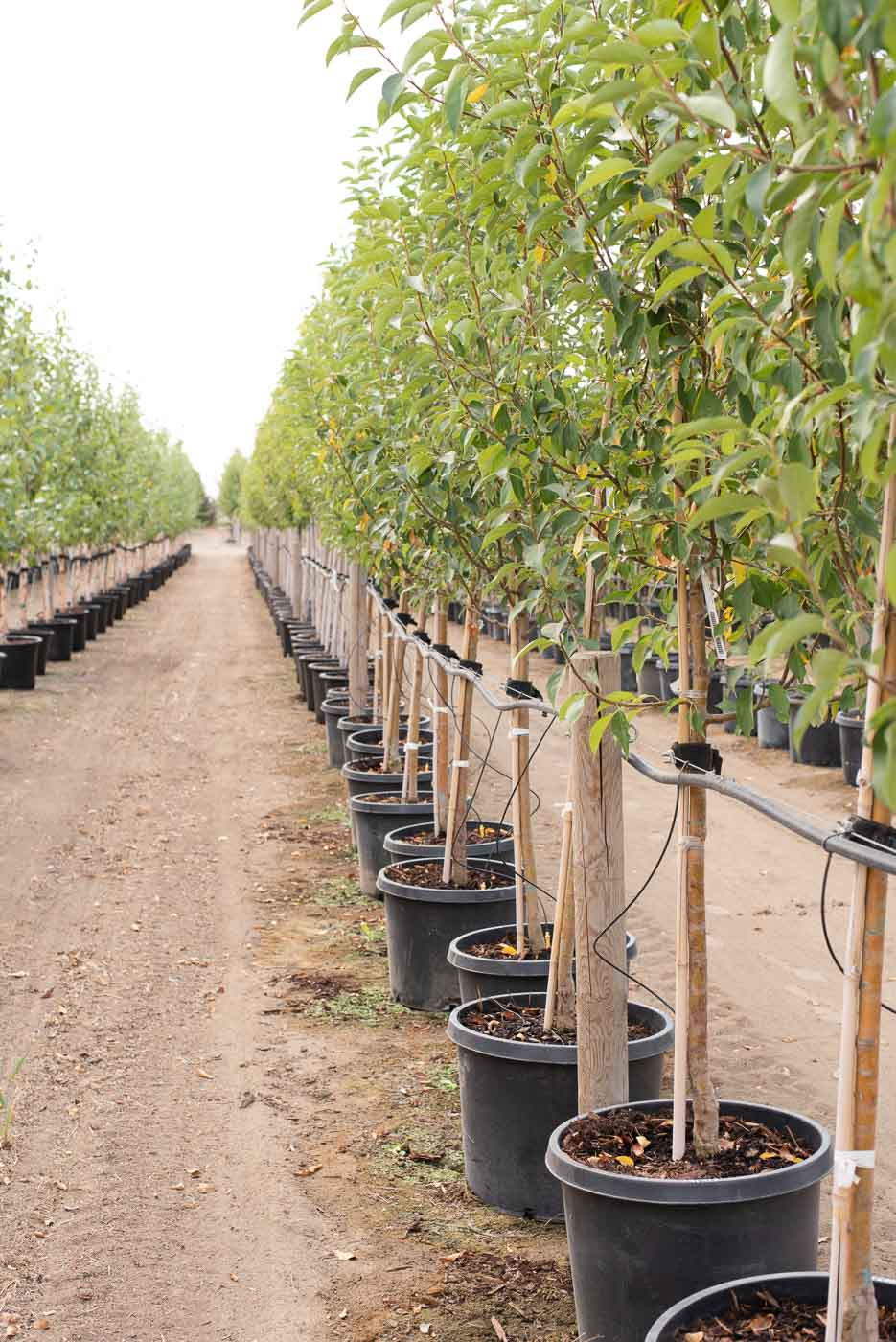 Starlite® Flowering Crabapple