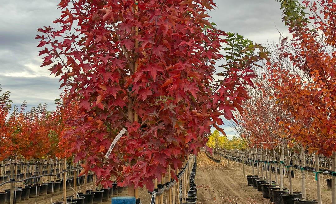 Urban Sunset Maple tree in Autumn.