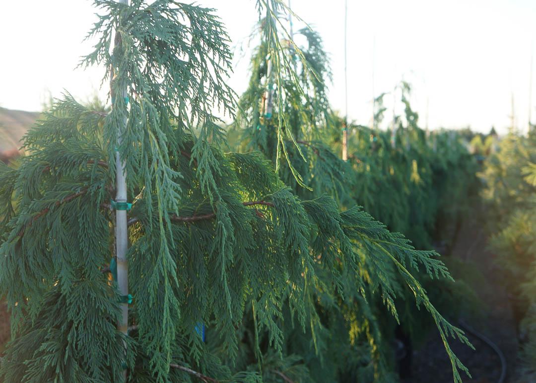 Blue Weeping Alaskan Cedar Tree
