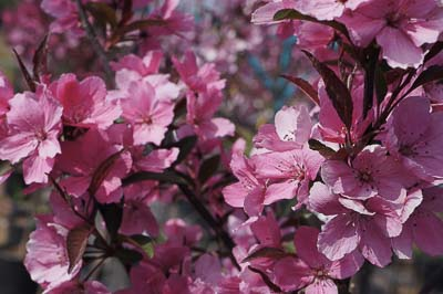Dazzling Blooms with the Showtime Crabapple