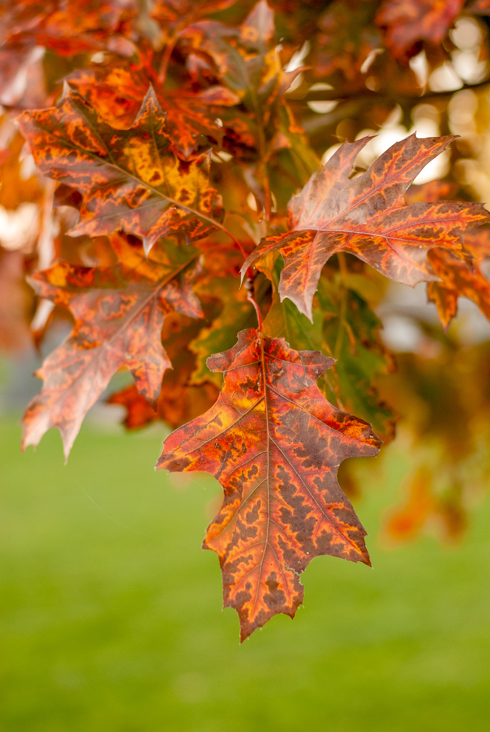 Red Oak Tree Leaves in the Autumn