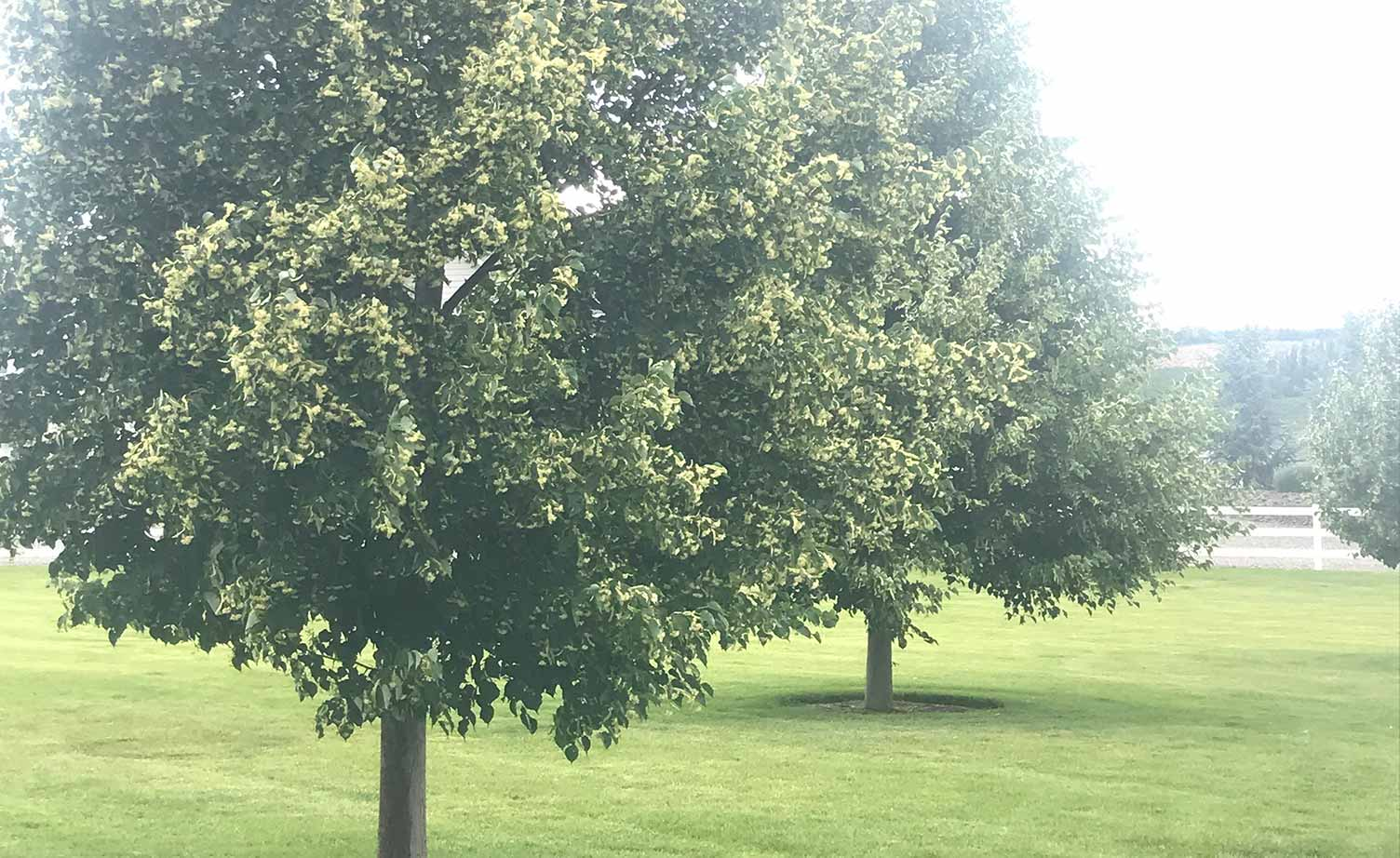 Greenspire® Linden Tree