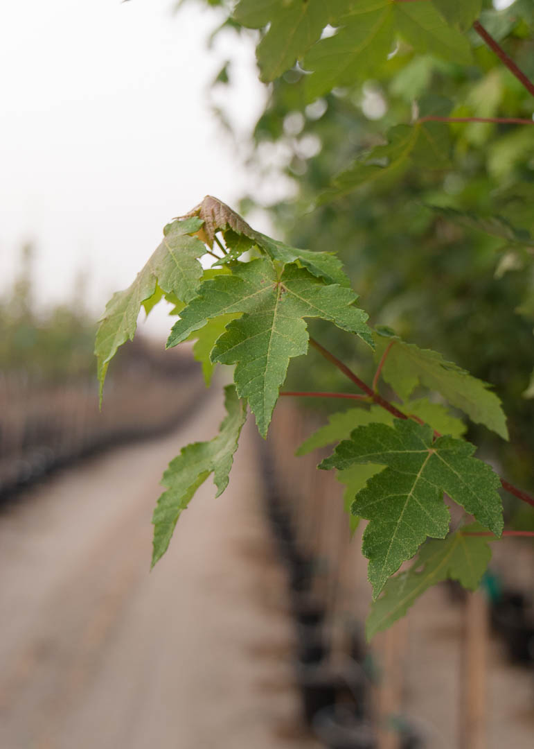 Redpointe Maple Leaves