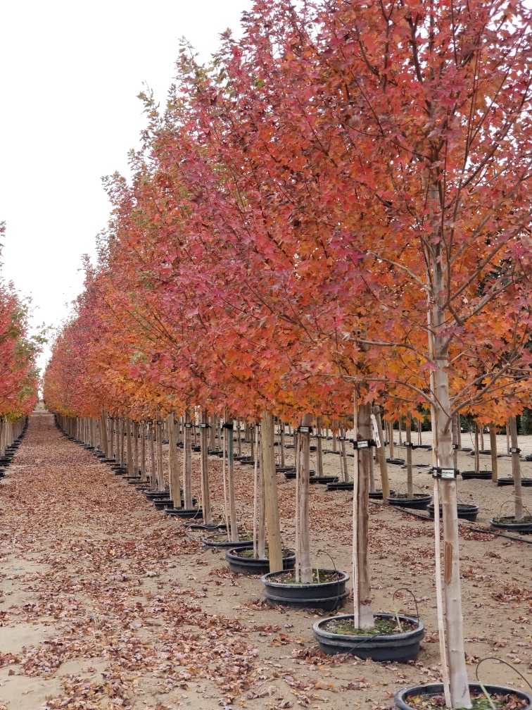 Autumn Blaze® Maple Tree
