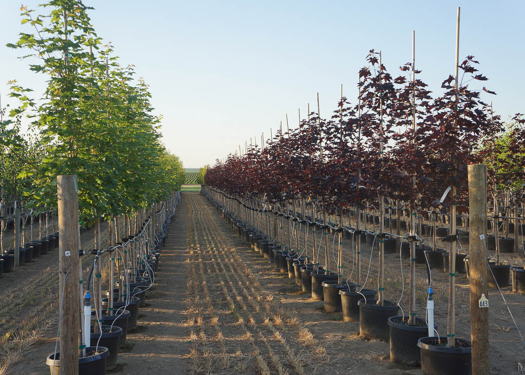 Rows of trees at Garden Gate Nursery