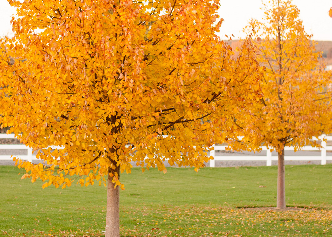 Greenspire Linden Trees mature in a landscape in fall time.