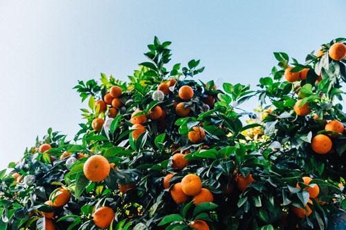 oranger devant un fond de ciel bleu, avec feuilles vertes et oranges