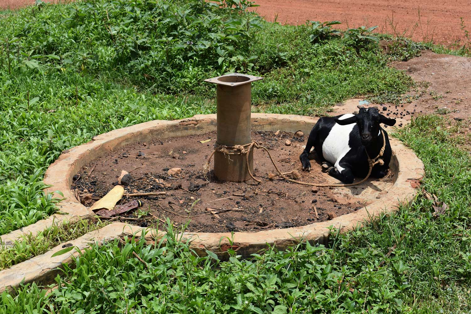 A goat tied to a pipe protruding from the ground