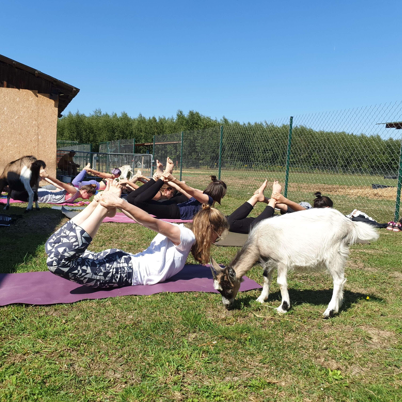 Zdjęcie przedstawia jogę z kozami goat joga