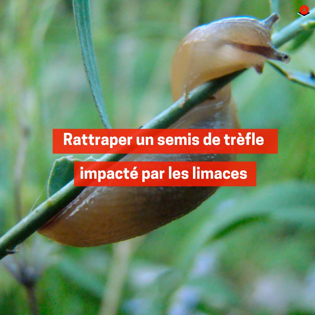 Rattraper un semis de trèfle impacté par les limaces