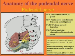 Pudendal nerve from youtube 300