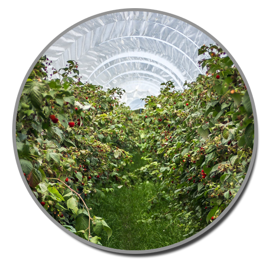 Crops of Tomatoes, olives, strawberries, hazelnuts all benefit from mold and pollen data