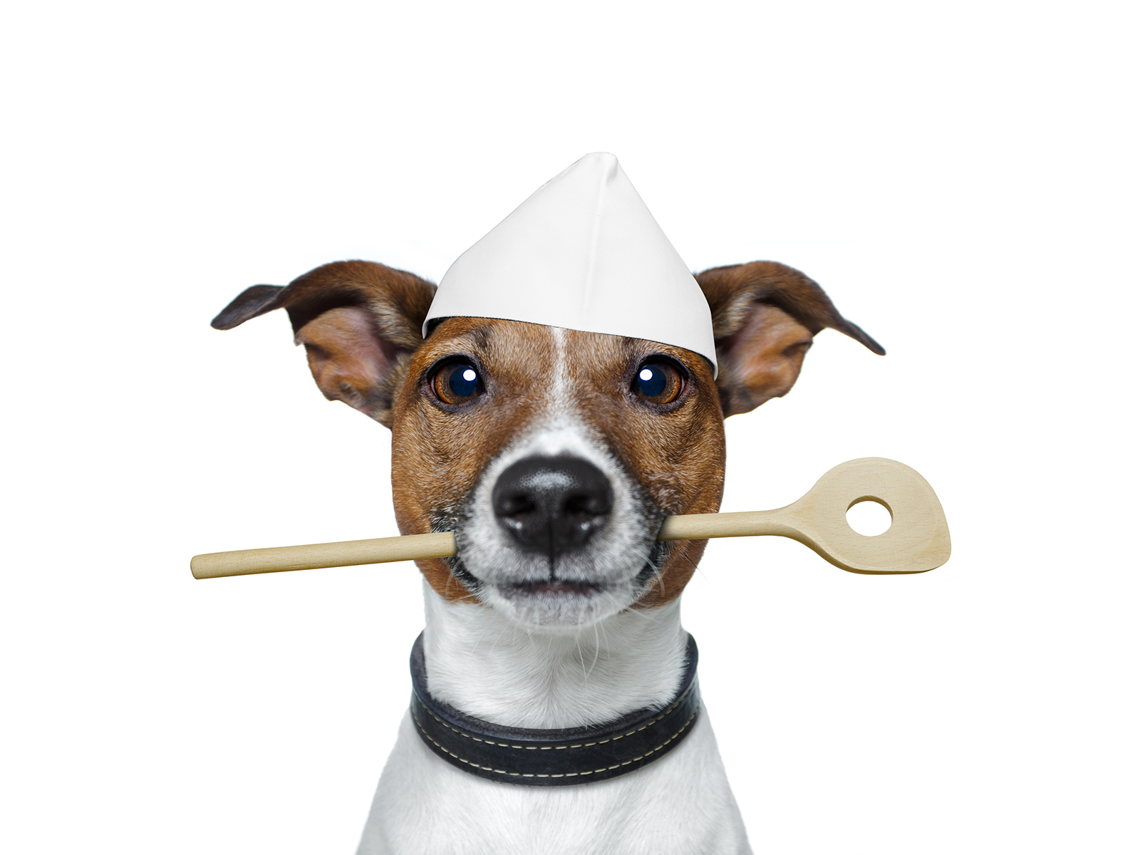 A cut dog is posed holding a wooden spoon in his mouth. He is ready to make his own dog food!