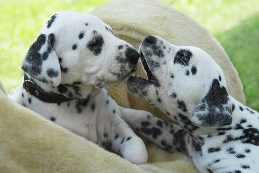 Two cute Dalmatian puppies playing