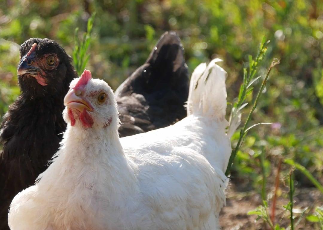 Bild mit zwei Hühnern, die den Betrachter anschauen.