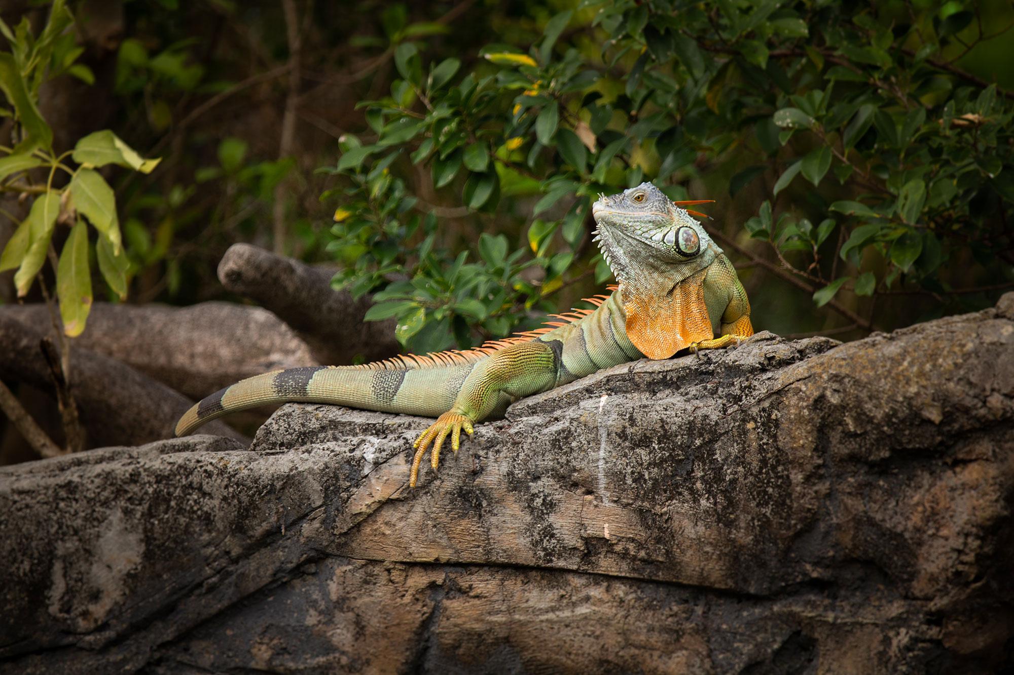 Iguana Sunning on a Rock