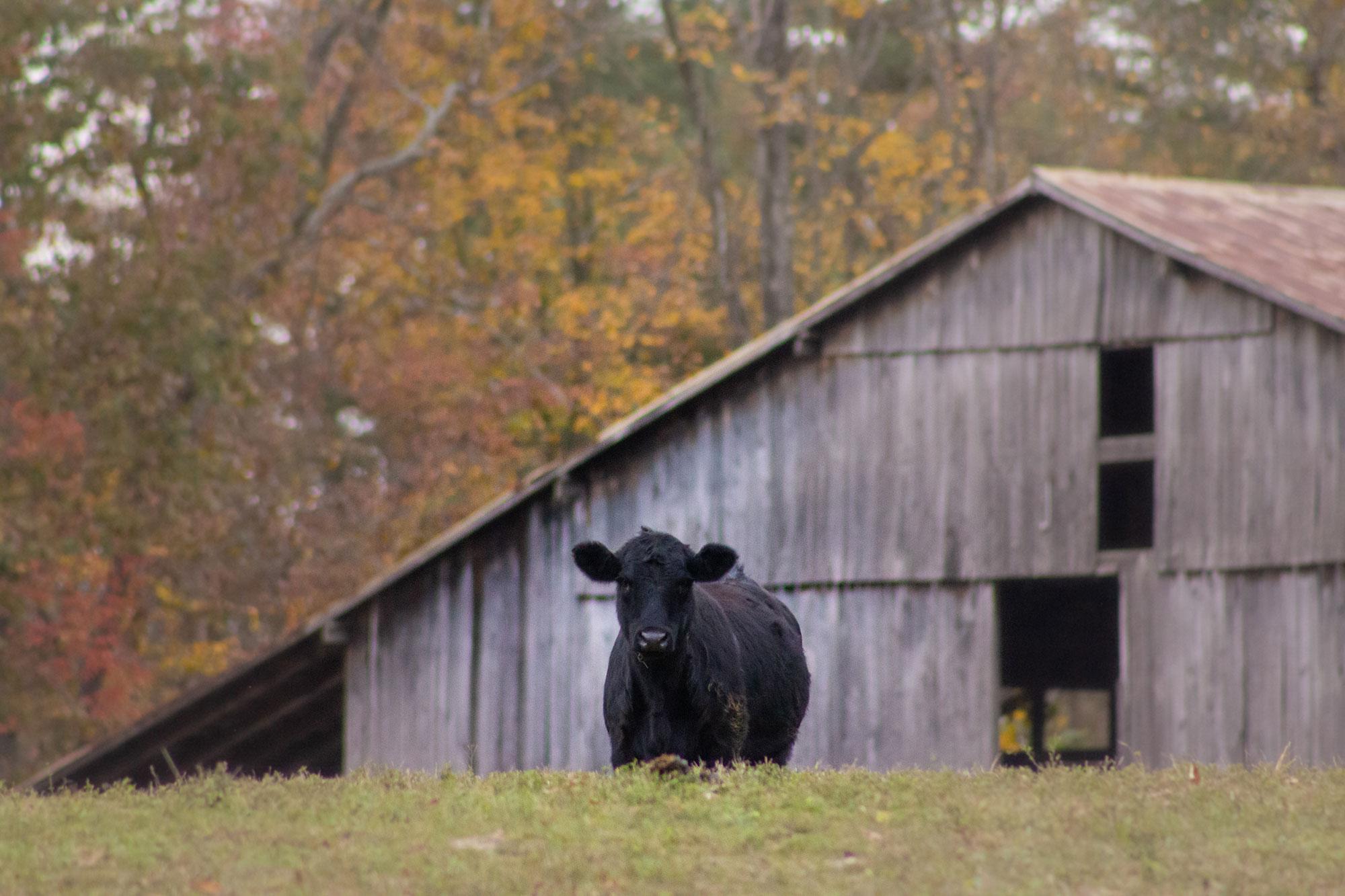Neighborhood Cow & Barn