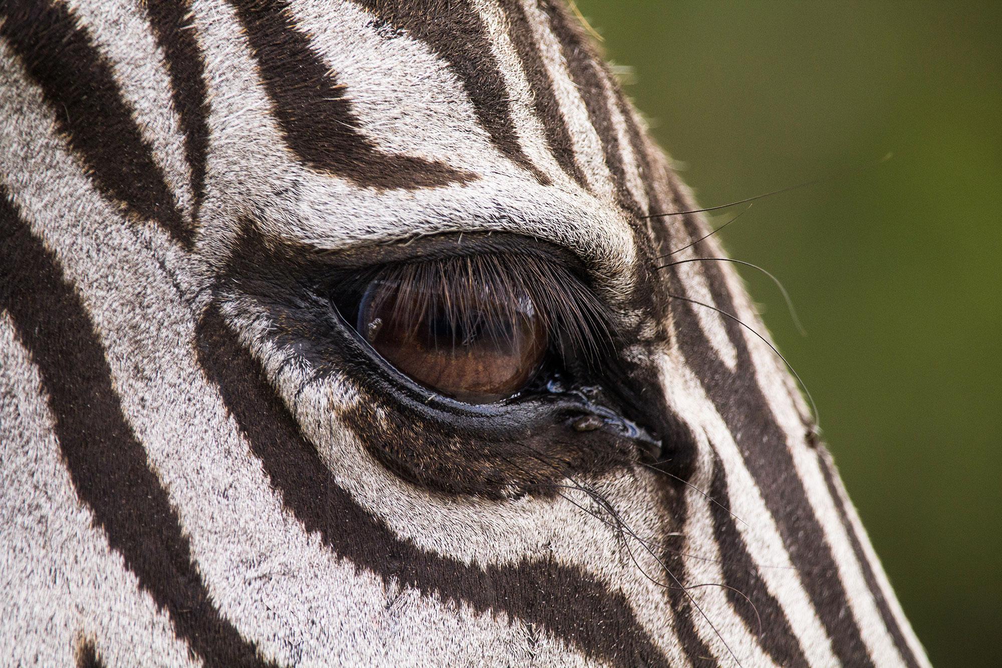 Zebra Soul