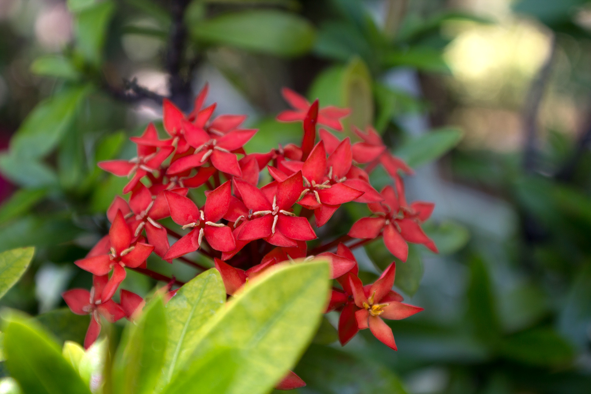 Small Red Flower Cluster