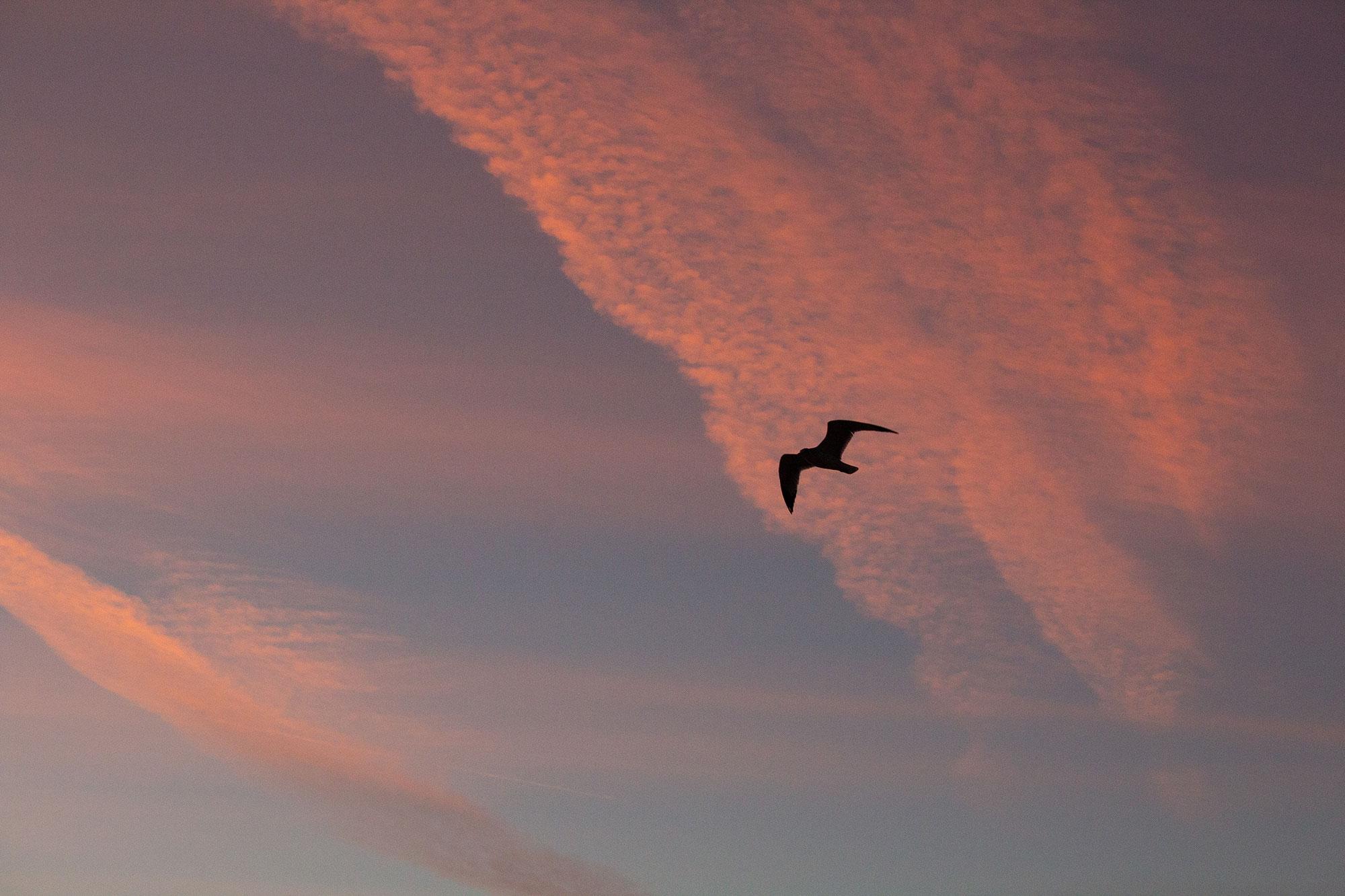 Seagull Flying at Sunrise