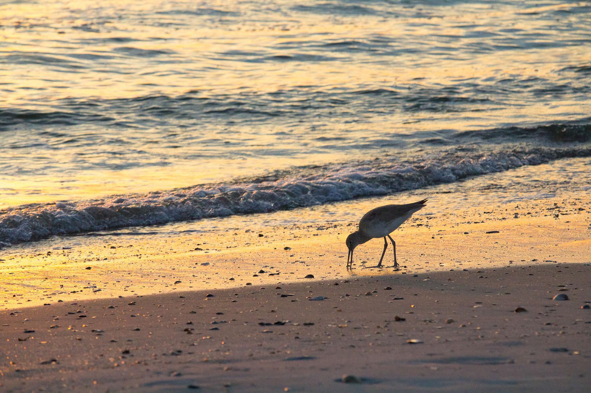 Sunrise Sandpiper
