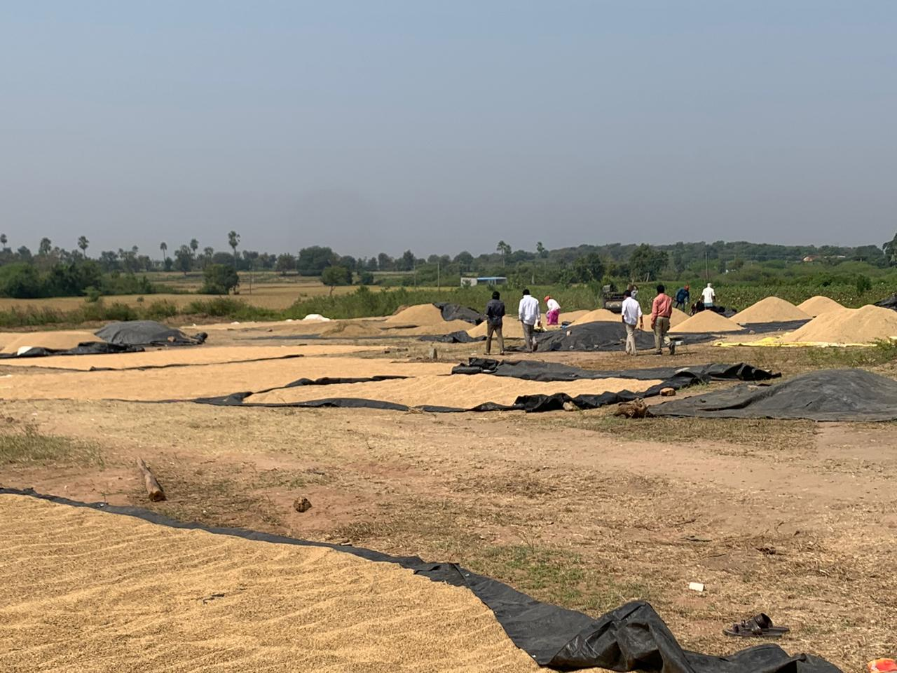 Paddy kept for drying in the sun in Ibrahimpur